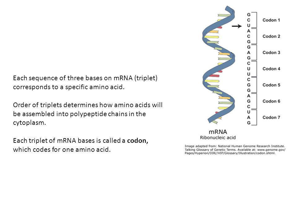 Each sequence of three bases on mRNA (triplet) corresponds to a specific amino acid.