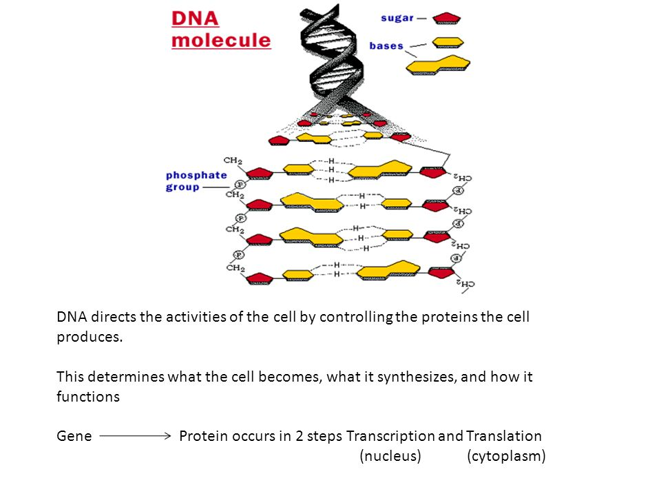 DNA directs the activities of the cell by controlling the proteins the cell produces.