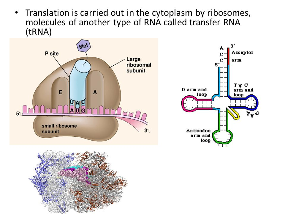 Translation is carried out in the cytoplasm by ribosomes, molecules of another type of RNA called transfer RNA (tRNA)