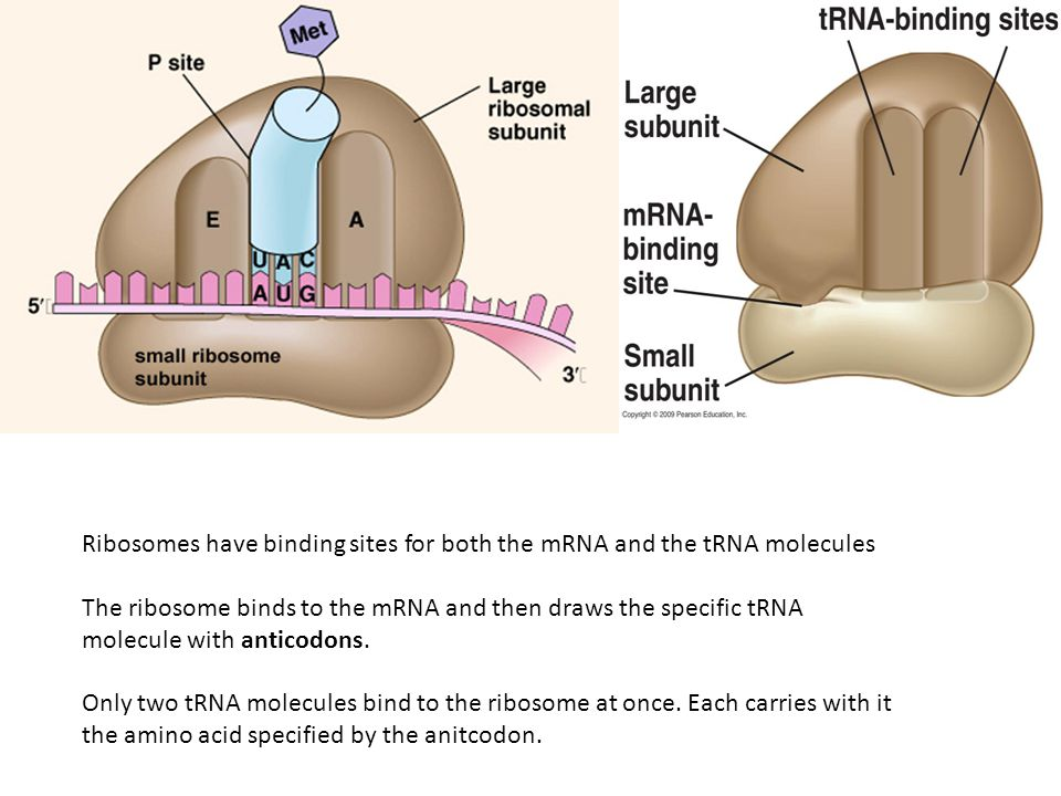 Ribosomes have binding sites for both the mRNA and the tRNA molecules