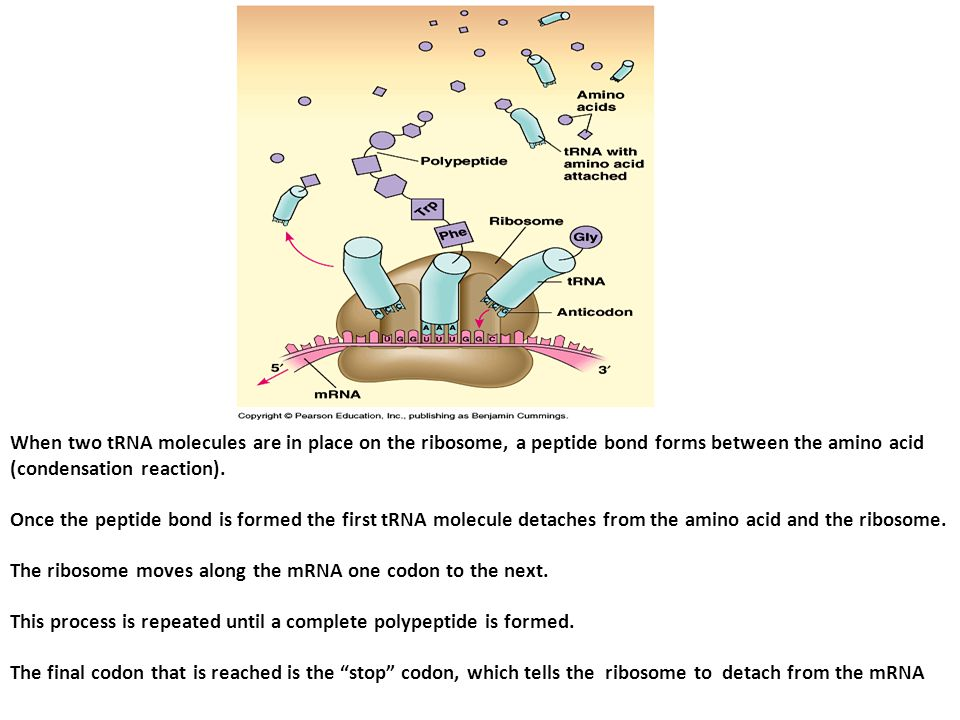 When two tRNA molecules are in place on the ribosome, a peptide bond forms between the amino acid (condensation reaction).