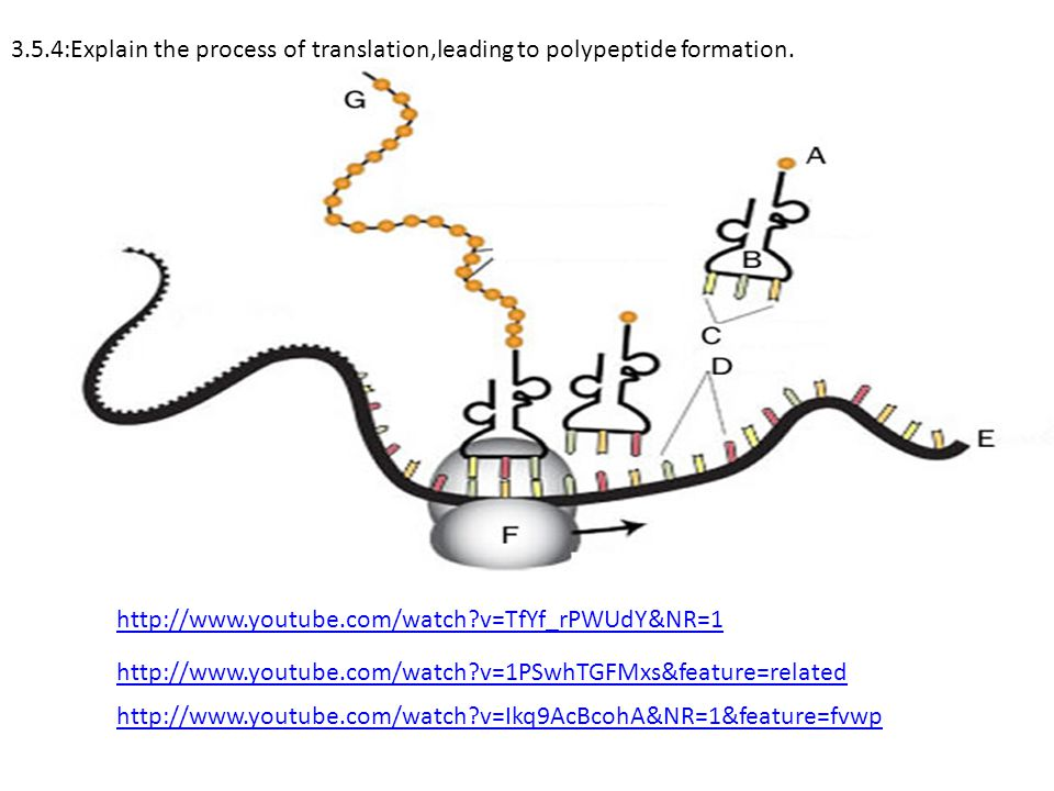 3.5.4:Explain the process of translation,leading to polypeptide formation.