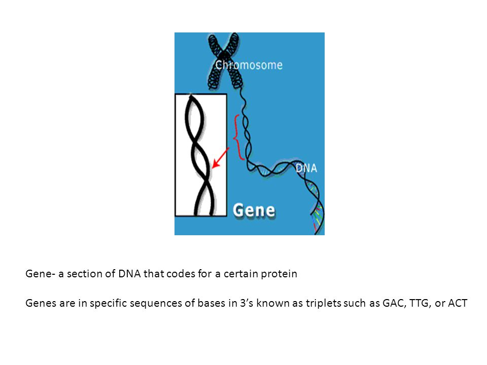 Gene- a section of DNA that codes for a certain protein