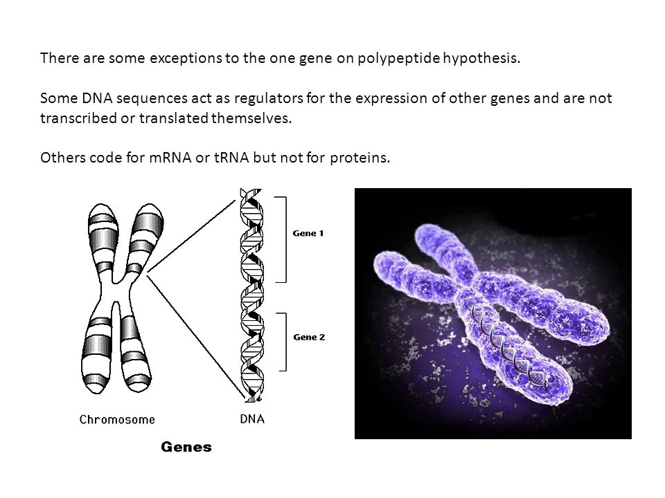 There are some exceptions to the one gene on polypeptide hypothesis.