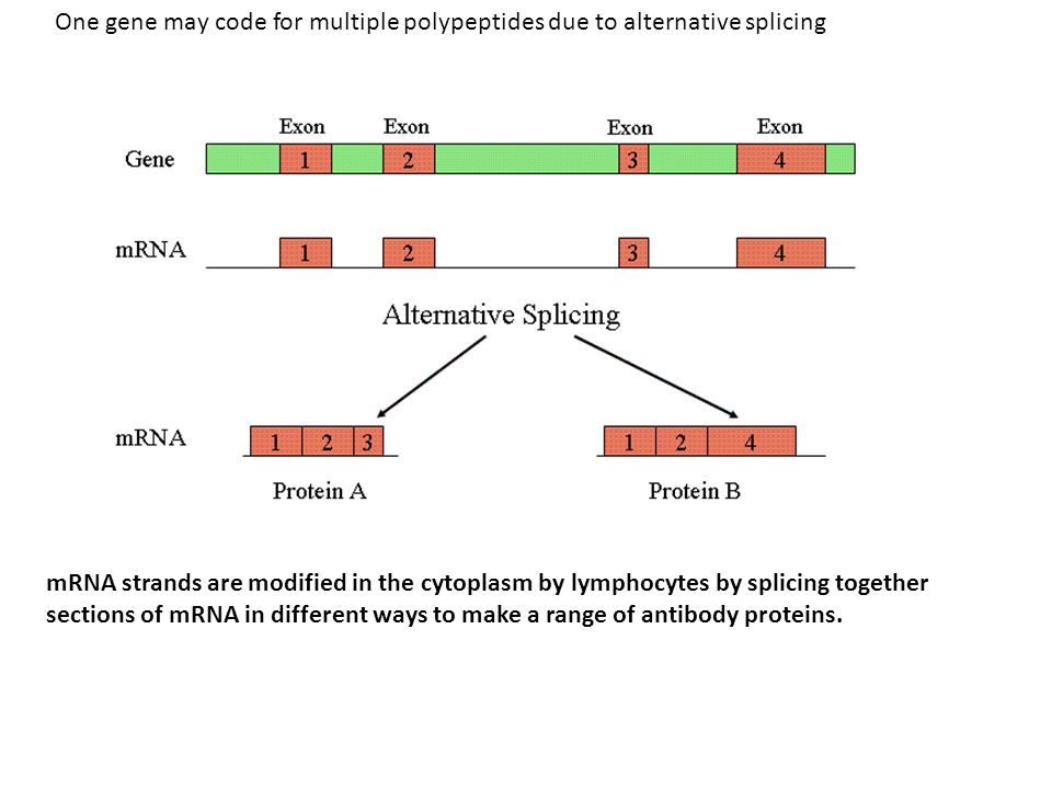 One gene may code for multiple polypeptides due to alternative splicing