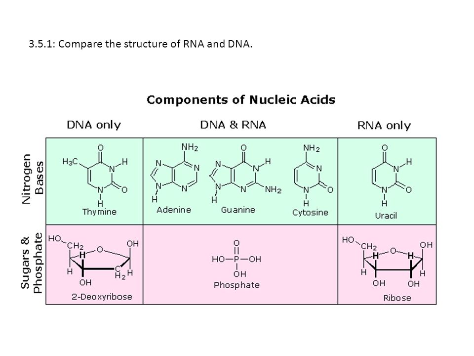 3.5.1: Compare the structure of RNA and DNA.