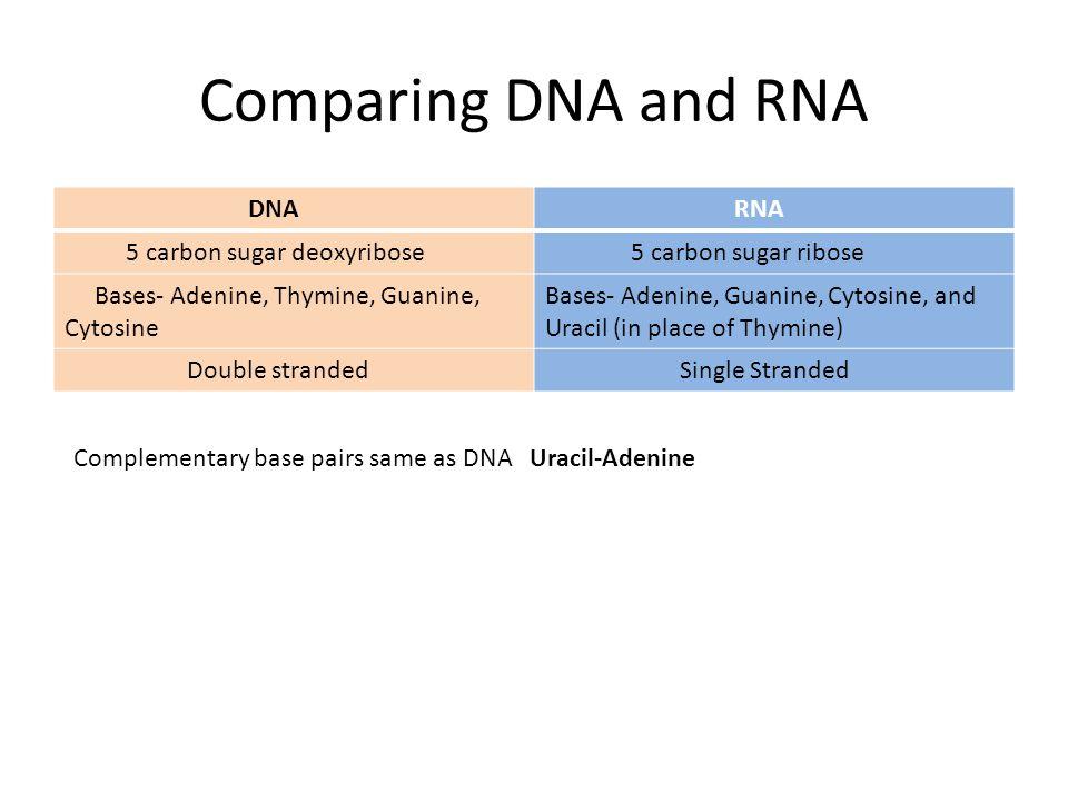Comparing DNA and RNA DNA RNA 5 carbon sugar deoxyribose
