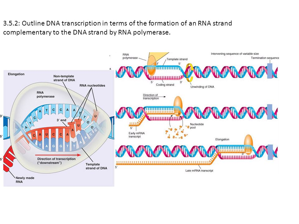 3.5.2: Outline DNA transcription in terms of the formation of an RNA strand complementary to the DNA strand by RNA polymerase.