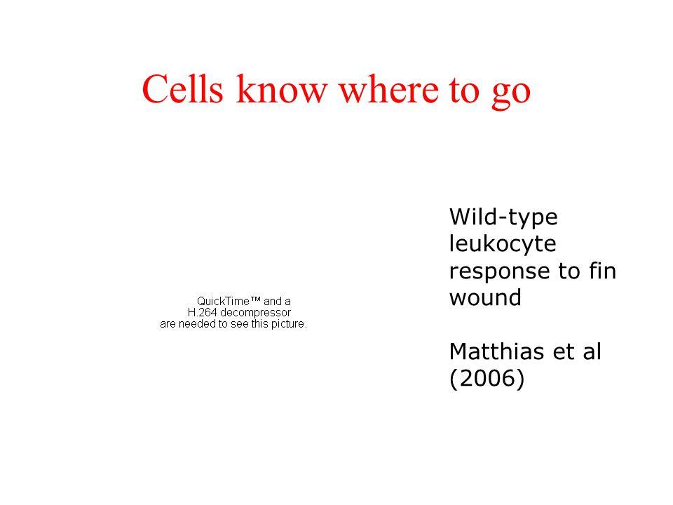 Cells know where to go Wild-type leukocyte response to fin wound