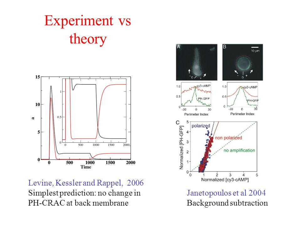 Experiment vs theory Levine, Kessler and Rappel, 2006
