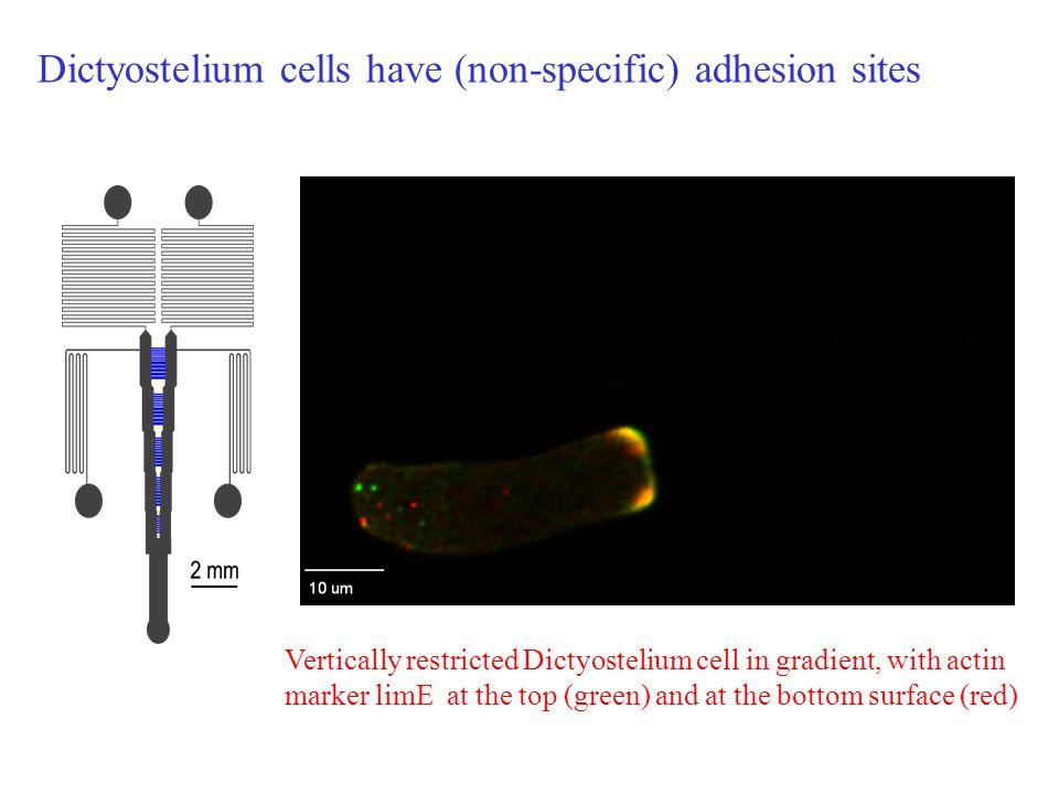 Dictyostelium cells have (non-specific) adhesion sites