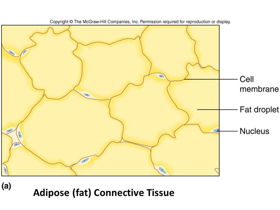 Figure 05.19a Adipose (fat) Connective Tissue