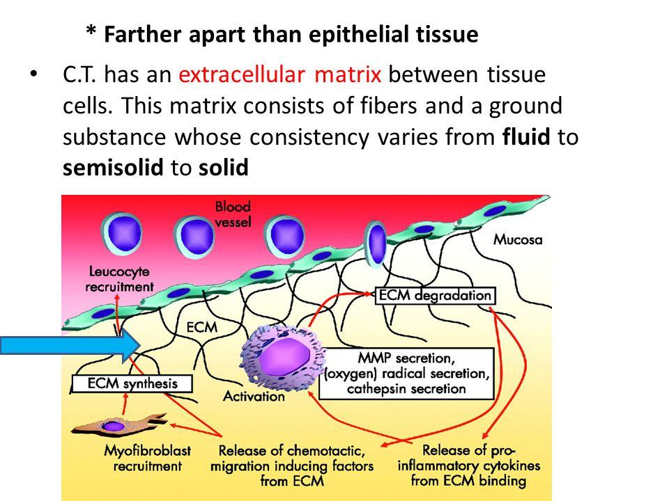 * Farther apart than epithelial tissue