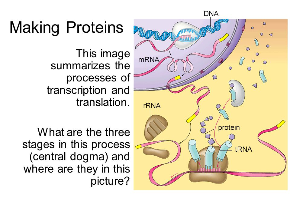 Making Proteins DNA. This image summarizes the processes of transcription and translation.