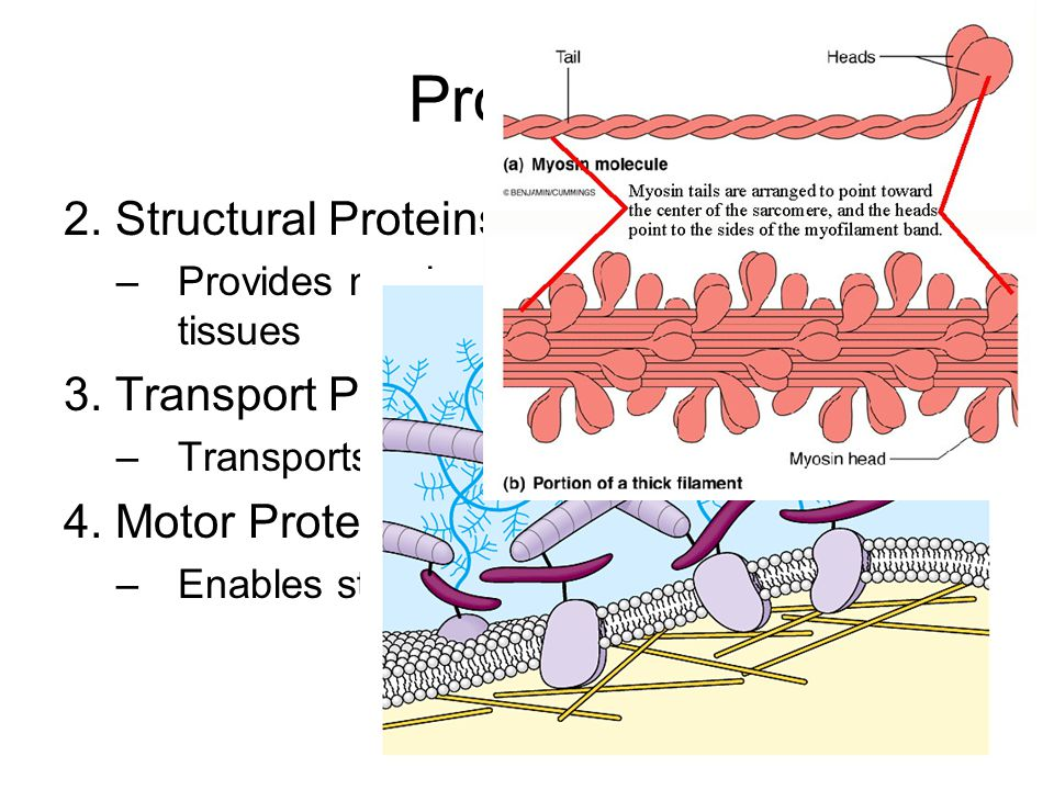 Proteins 2. Structural Proteins 3. Transport Proteins