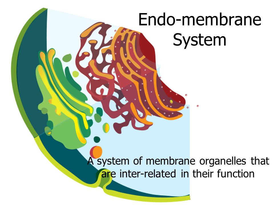 Endo-membrane System A system of membrane organelles that are inter-related in their function