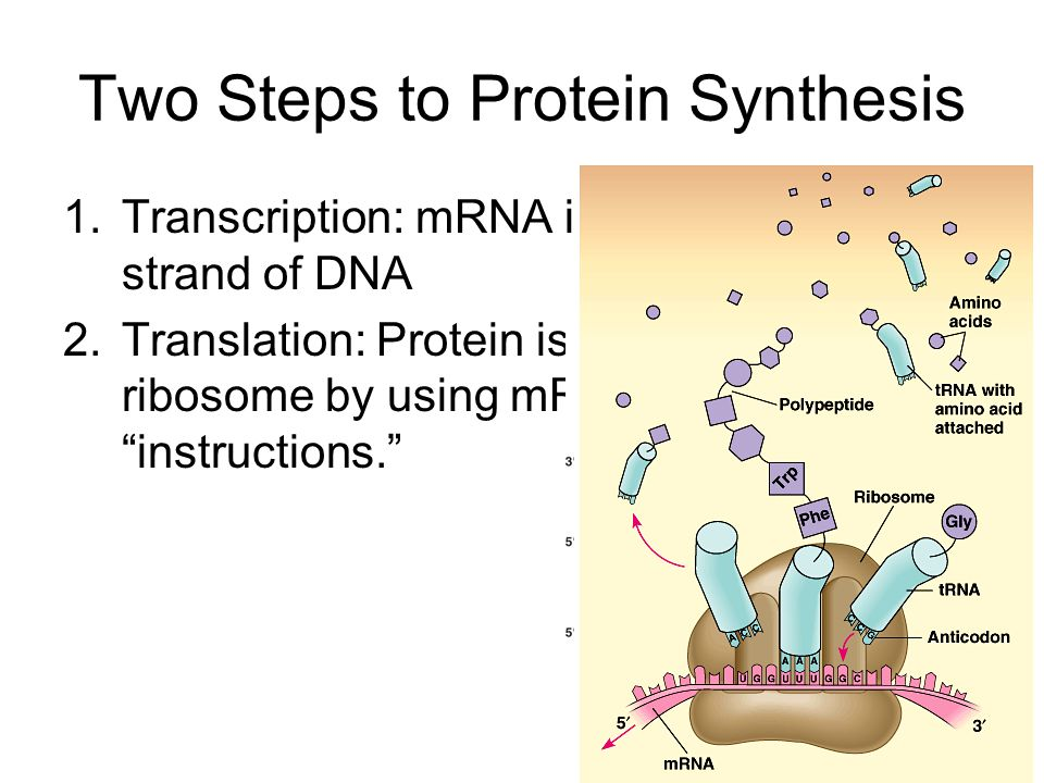 two steps of protein synthesis Deoxyribonucleic acid (dna) carries the sequence of coded instructions for the synthesis of proteins, which are transcribed into ribonucleic acid (rna) to be further translated into actual proteins the process of protein production involves.