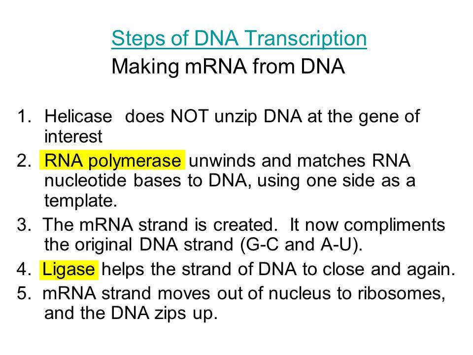 Steps of DNA Transcription Making mRNA from DNA