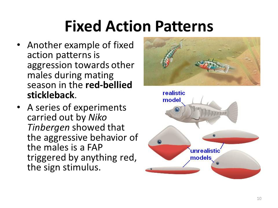 Fixed Action Patterns Another example of fixed action patterns is aggression towards other males during mating season in the red-bellied stickleback.