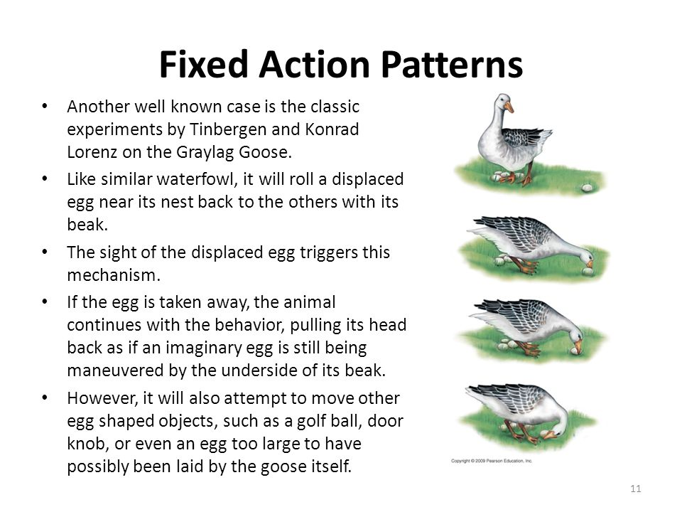Fixed Action Patterns Another well known case is the classic experiments by Tinbergen and Konrad Lorenz on the Graylag Goose.