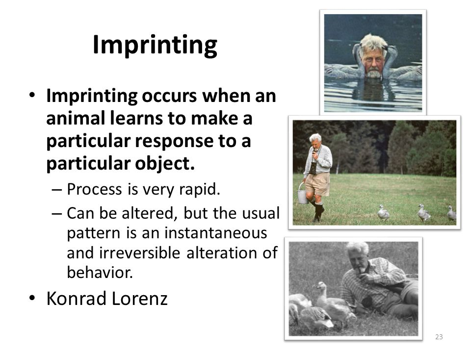 Imprinting Imprinting occurs when an animal learns to make a particular response to a particular object.