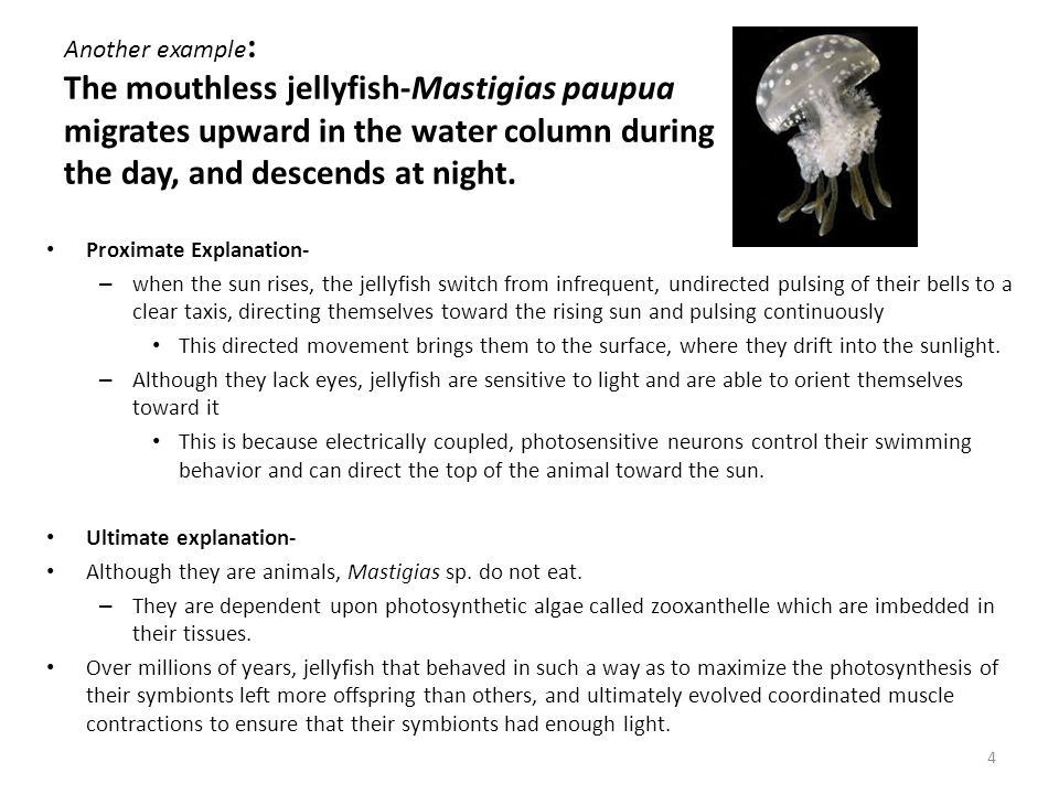 Another example: The mouthless jellyfish-Mastigias paupua migrates upward in the water column during the day, and descends at night.