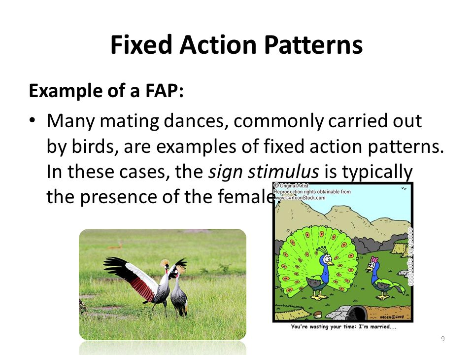 Fixed Action Patterns Example of a FAP: