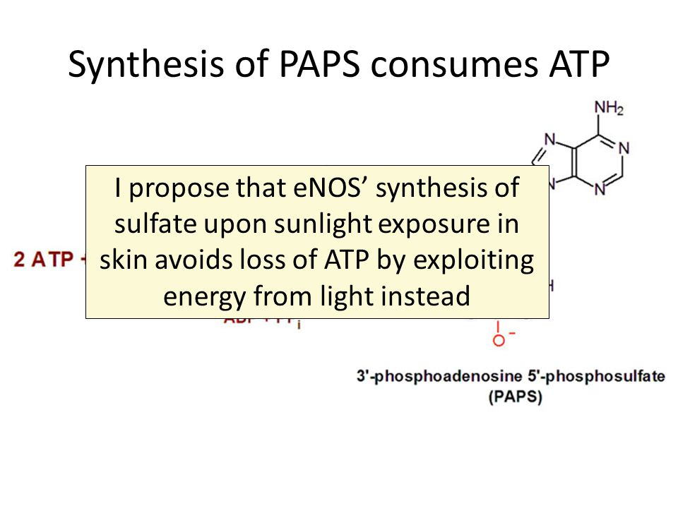 Synthesis of PAPS consumes ATP