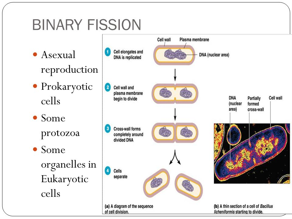 BINARY FISSION Asexual reproduction Prokaryotic cells Some protozoa