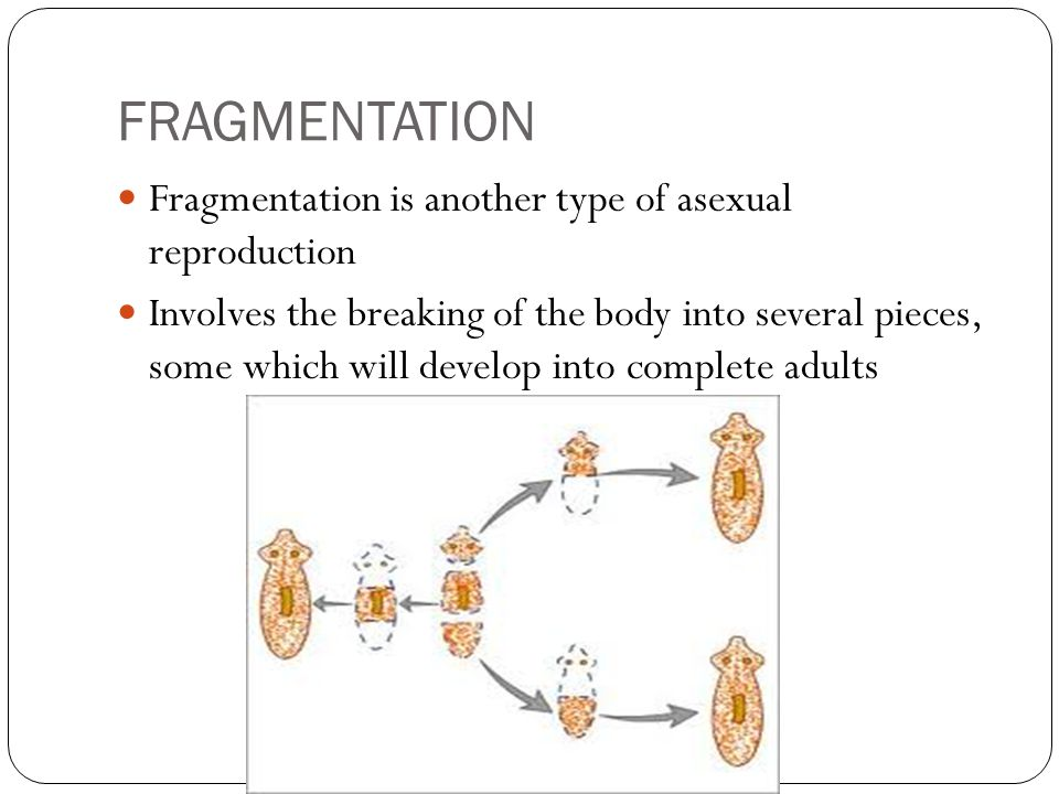 FRAGMENTATION Fragmentation is another type of asexual reproduction