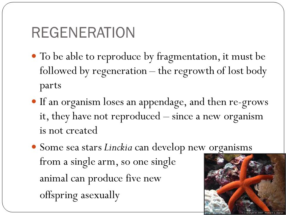 REGENERATION To be able to reproduce by fragmentation, it must be followed by regeneration – the regrowth of lost body parts.