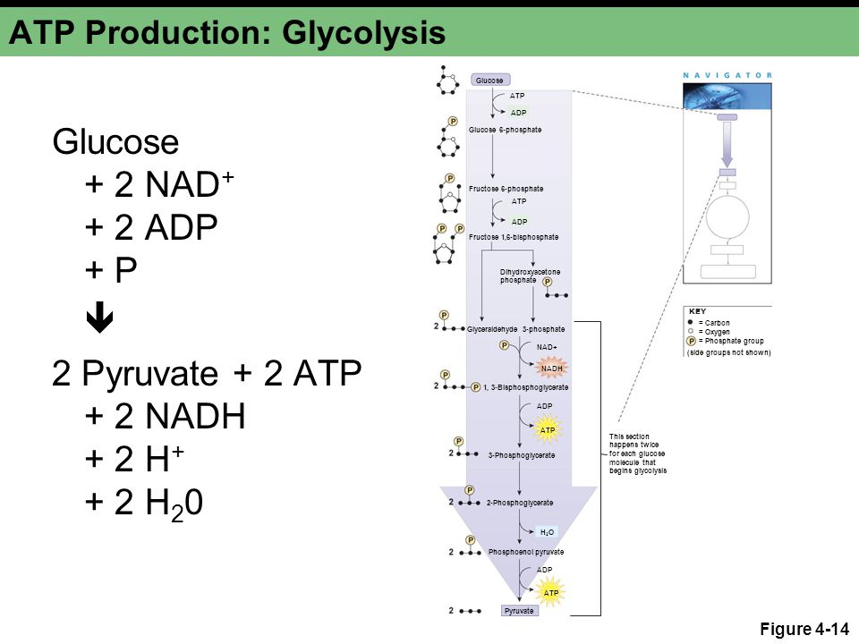 ATP Production: Glycolysis