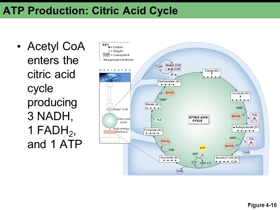 ATP Production: Citric Acid Cycle