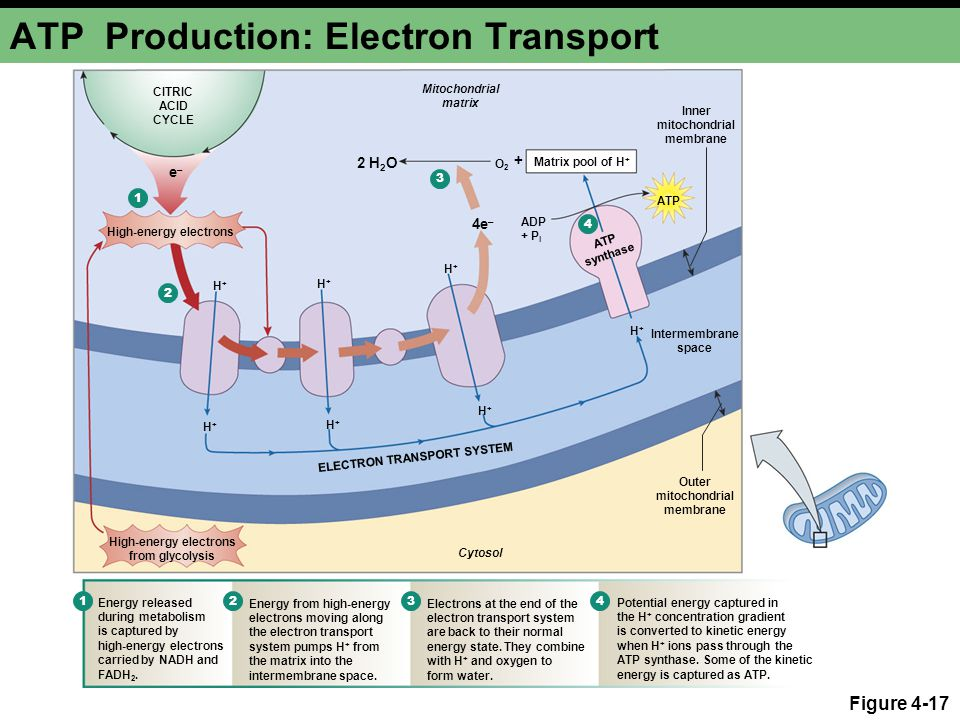 ATP Production: Electron Transport