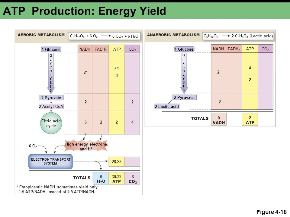 ATP Production: Energy Yield
