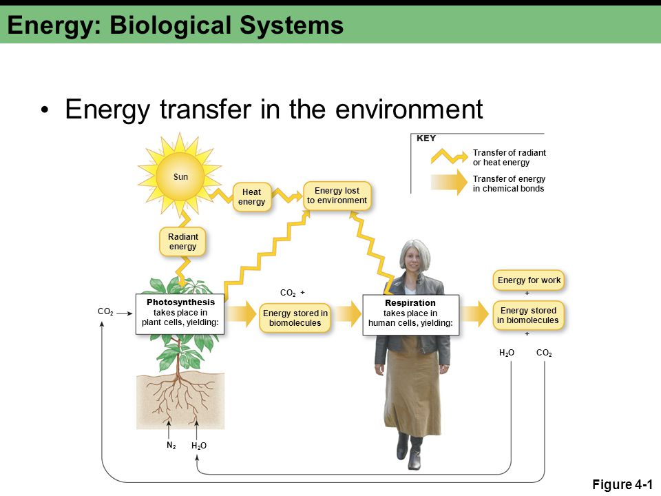 Energy: Biological Systems