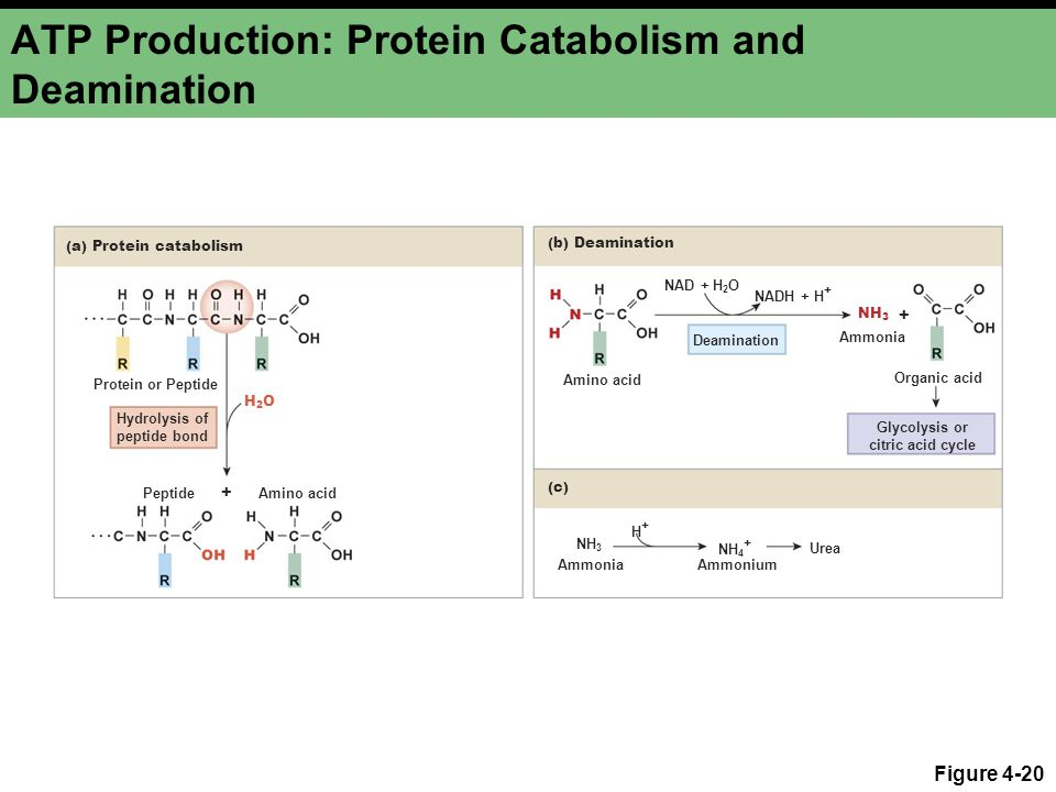 ATP Production: Protein Catabolism and Deamination