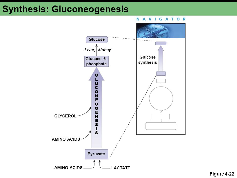 Synthesis: Gluconeogenesis
