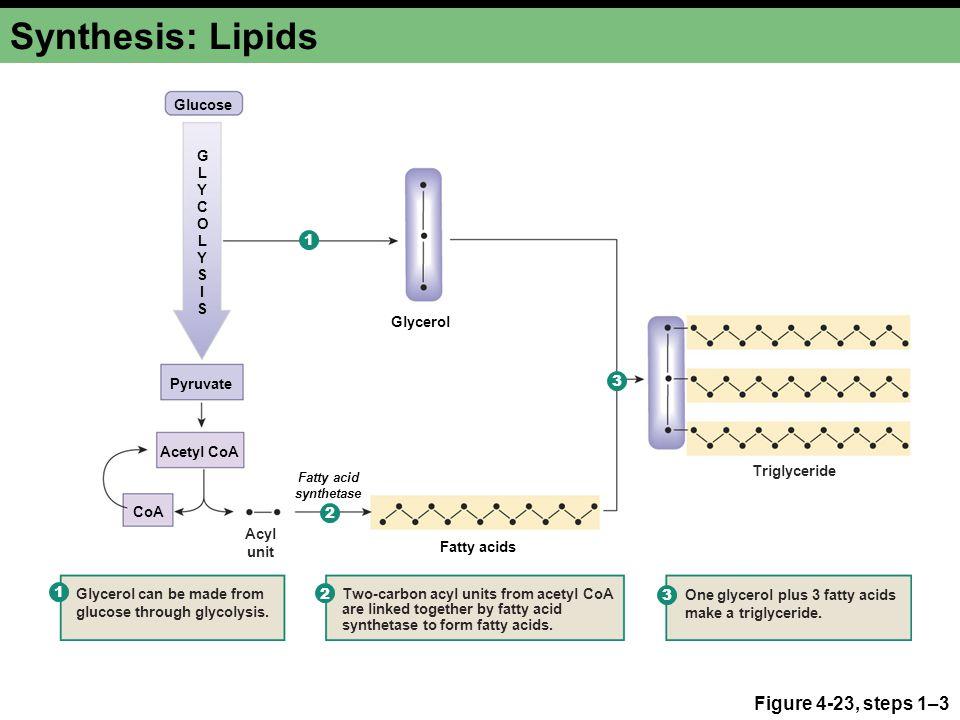 Synthesis: Lipids Figure 4-23, steps 1–3 36 Glucose G L Y C O L 1 Y S