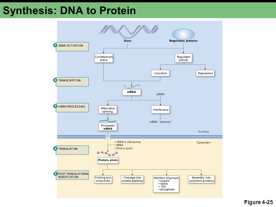 Synthesis: DNA to Protein