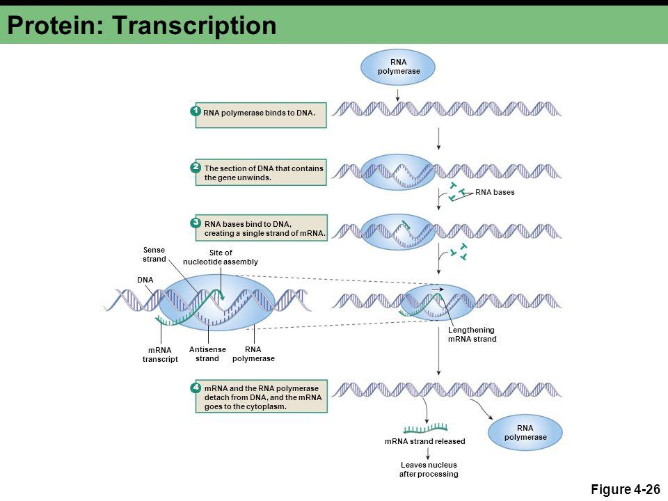 Protein: Transcription