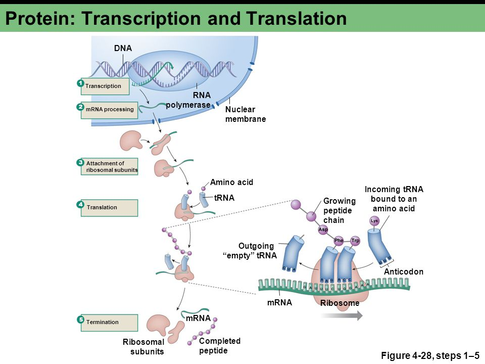 Protein: Transcription and Translation