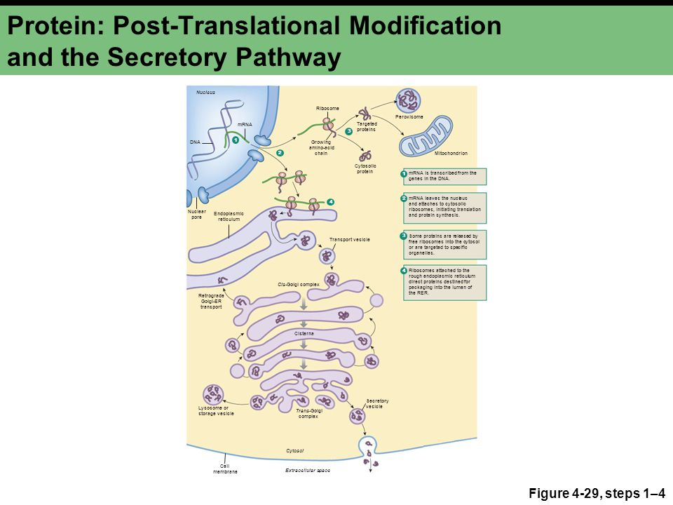 Protein: Post-Translational Modification and the Secretory Pathway