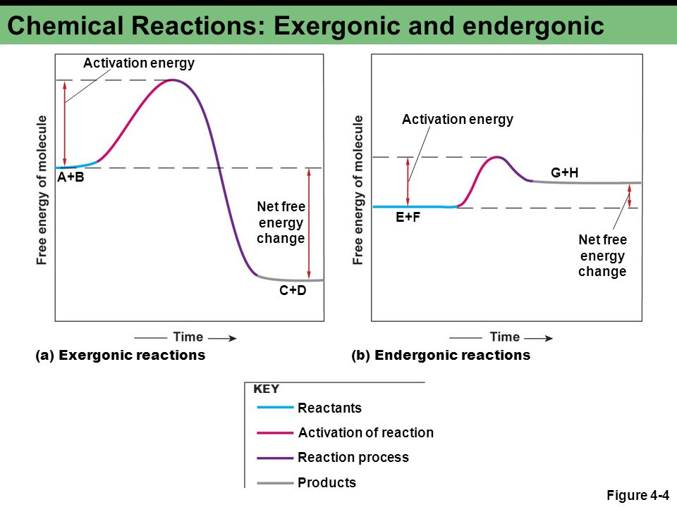 Chemical Reactions: Exergonic and endergonic