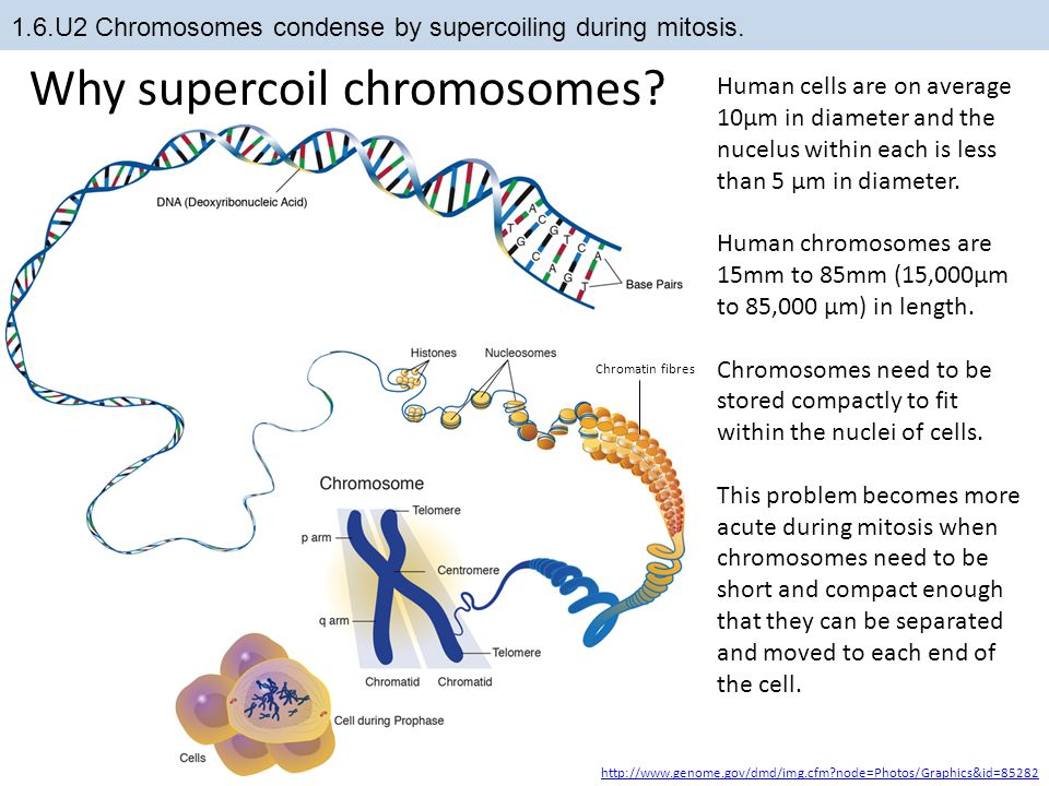 1.6.U2 Chromosomes condense by supercoiling during mitosis.