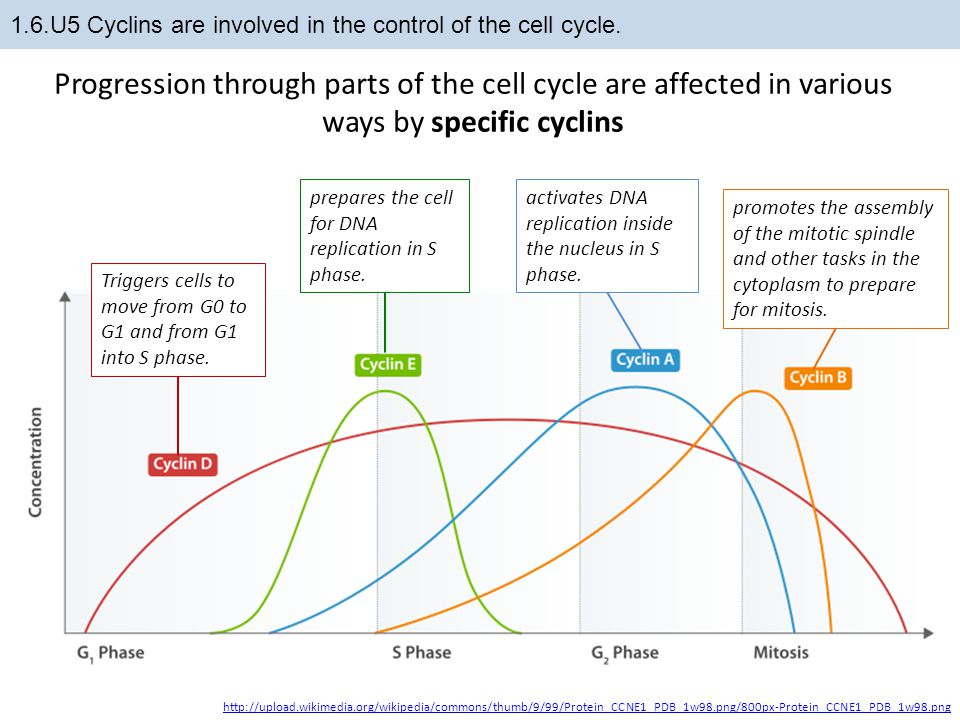 1.6.U5 Cyclins are involved in the control of the cell cycle.