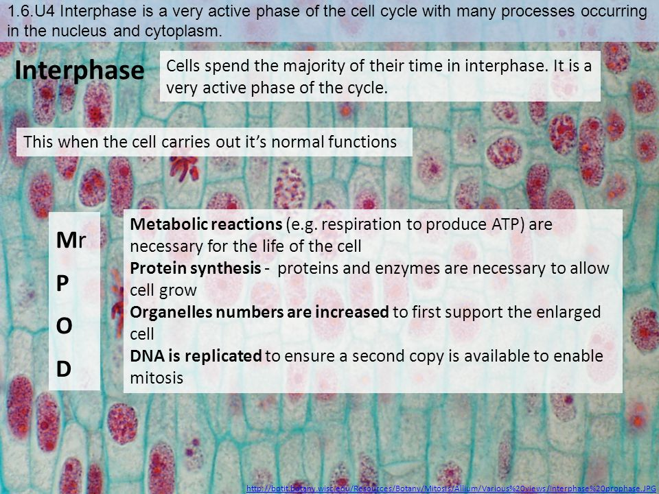 1.6.U4 Interphase is a very active phase of the cell cycle with many processes occurring in the nucleus and cytoplasm.