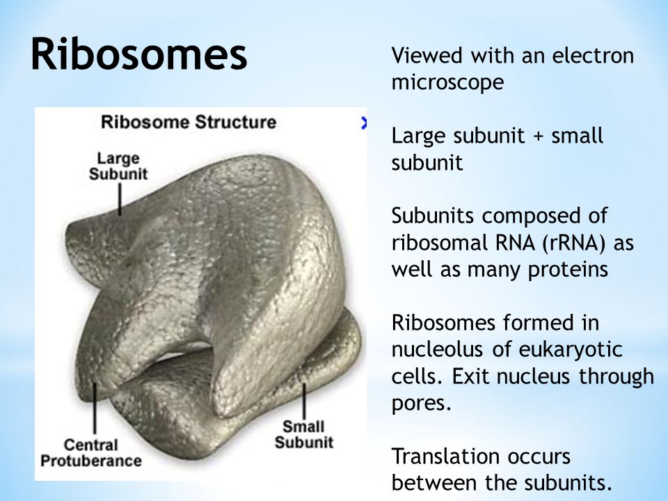 Ribosomes Viewed with an electron microscope