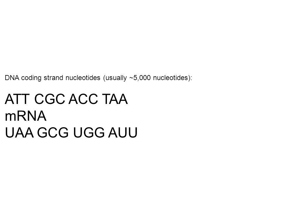 ATT CGC ACC TAA mRNA UAA GCG UGG AUU
