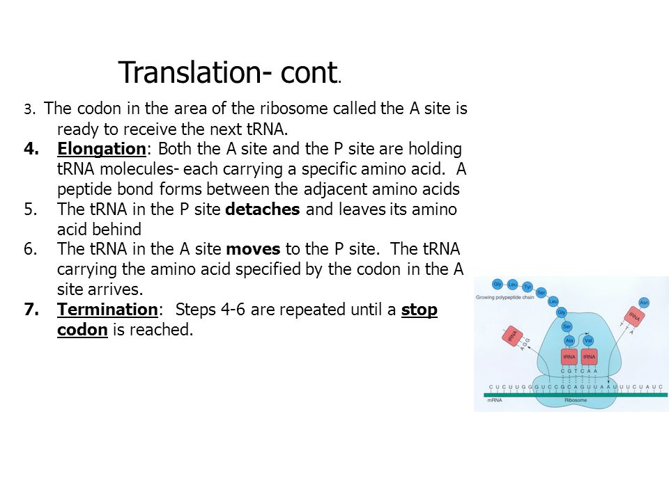 Translation- cont. 3. The codon in the area of the ribosome called the A site is ready to receive the next tRNA.